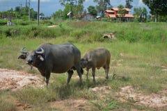 Maman et jeunes thaïlandais de Buffalo Photographie stock libre de droits