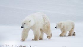 Maman et petit animal d'ours blanc marchant sur la glace Image stock