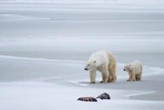 Maman et petit animal d'ours blanc sur la glace Image stock