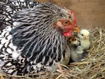Maman et poussins Photo libre de droits