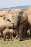 Maman et veau d'éléphant Photographie stock libre de droits
