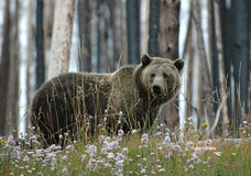 Maman Grizzly Photos stock
