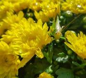 Maman jaune avec une sauterelle Photo stock