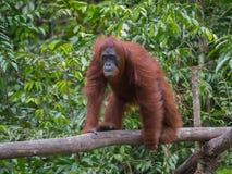 Maman Orangutan avec le bébé dans des ses bras pensant l'Indonésie images libres de droits