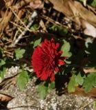 Maman rouge dans le jardin Photographie stock libre de droits