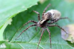 Maman Wolf Spider Photographie stock libre de droits