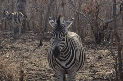 Maman Zebra Waiting pour la naissance du bébé Photographie stock libre de droits