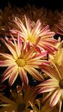 Mamas der Chrysantheme am Montag Morgen stockfoto