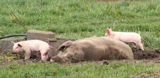 Mamaschwein im Dreck Stockfotos