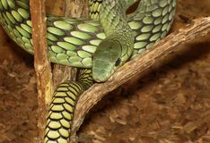 Mamba. Green mamba, very poisin snake Stock Photo