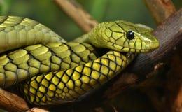 Mamba verde (angusticeps del Dendroaspis) foto de archivo
