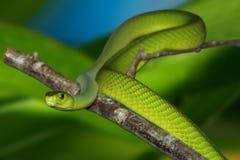 Mamba verte Photographie stock libre de droits