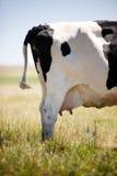 Mamelle de vache Images libres de droits