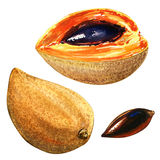 Mamey Sapote, Lucuma, Jajeczna owoc, Canistel, odizolowywający, akwareli ilustracja ilustracji