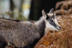Mamífero alpino da cabra-montesa Fotos de Stock