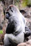 Mamífero grande Gray Adult Strong Gorilla Foto de archivo libre de regalías