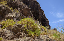 Mamie occidentale Canaria, mai Images libres de droits