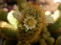 Mamilaria kwiat Zdjęcia Stock