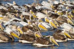 Mamili pelican flock Stock Image