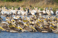 Mamili pelicans Royalty Free Stock Photography