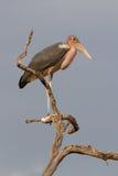 Mamili stork Royalty Free Stock Photography