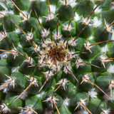 Ниппел-кактус кактуса (Mamillaria). Стоковые Изображения