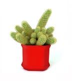 Mamillaria van de cactus Stock Foto