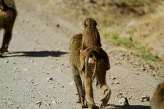 Mamma & babybaviaan Stock Foto