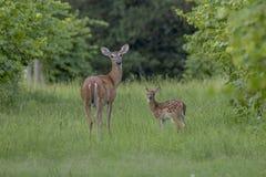 Mamma con il suo fawn fotografie stock libere da diritti