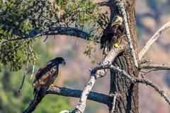 Mamma del ` avete caduto appena il mio ritrovamento raro Eagle calvo americano del ` del pesce Immagine Stock