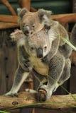 Mamma del Koala con il joey su lei indietro Immagini Stock Libere da Diritti
