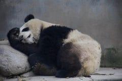 Mamma del panda gigante immagine stock