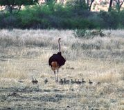 Mamma dello struzzo con i pulcini Tanzania Tom Wurl Immagini Stock