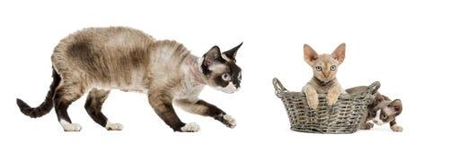 Mamma Devon rex en haar katjes het spelen Stock Afbeeldingen