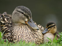 Mamma Duck and her Baby Duck. Mom and Baby Duck Royalty Free Stock Photography