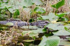 Mamma e bambini dell'alligatore della palude di Okefenokee Immagine Stock Libera da Diritti