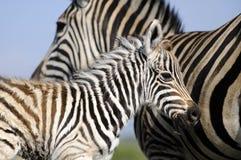 Mamma e bambino della zebra Fotografie Stock Libere da Diritti