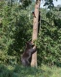 Mamma e cucciolo dell'orso nero Immagine Stock