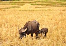 Mamma e giovani tailandesi della Buffalo immagini stock