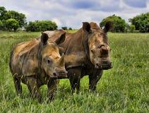 Mamma e vitello bianchi di rinoceronte Fotografia Stock