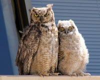 Mamma en Baby Owl Portrait Stock Fotografie