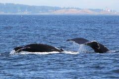 Mamma en Babygebocheldewalvissen het Duiken royalty-vrije stock foto