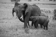 Mamma en verzorgingsbabyolifant in zwart-wit Stock Afbeelding
