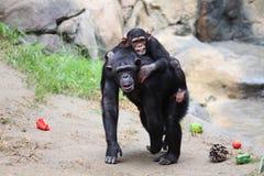 Mamma i dziecka małpy przejażdżka zdjęcie royalty free