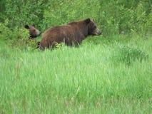 Mamma niedźwiedź brać prowadzenie zdjęcie stock