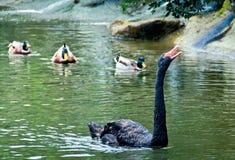 Mamma Oca con i suoi bambini dell'anatra Immagini Stock