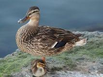 Mamma och ankunge som vilar på kusten arkivfoton