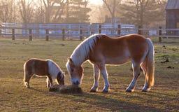 Mamma och att behandla som ett barn hästen som äter hö arkivfoton
