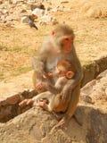 Mamma och unge, GaltaJi tempel, Jaipur, Indien Arkivbilder