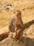 Mamma och unge, GaltaJi tempel, Jaipur, Indien Arkivfoto